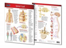 SPINAL CORD CHART